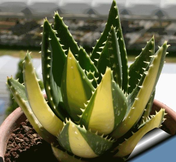 Aloe mitriformis