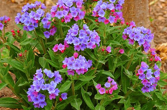Коротколистный цветок
