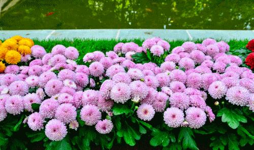 Астры в саду