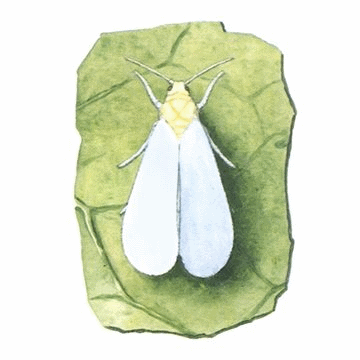 Белокрылка оранжерейная
