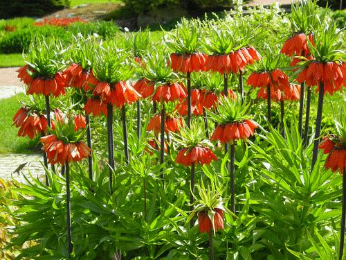 Цветущие рябчики