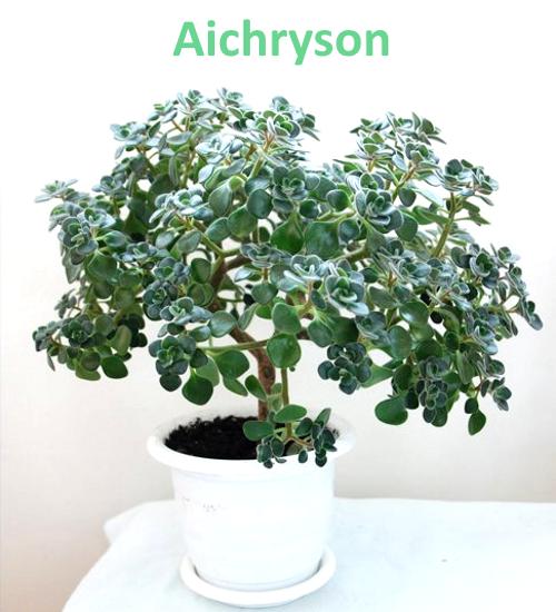 Aichryson