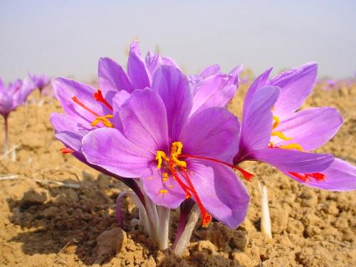 Шафран цветок