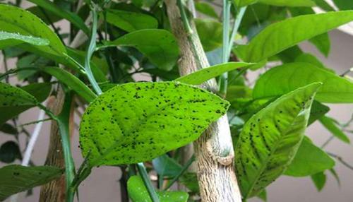 Тля на листьях