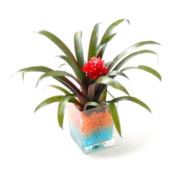 Бромелиевый комнатный цветок