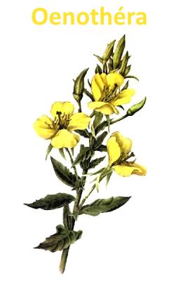 Oenothéra