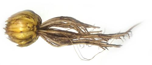Луковица саранки