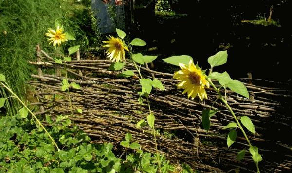 Живая изгородь из подсолнухов