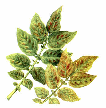 Бронзовость листьев