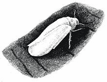Белокрылка хлопковая
