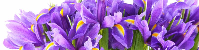 Ирис (фото цветов)