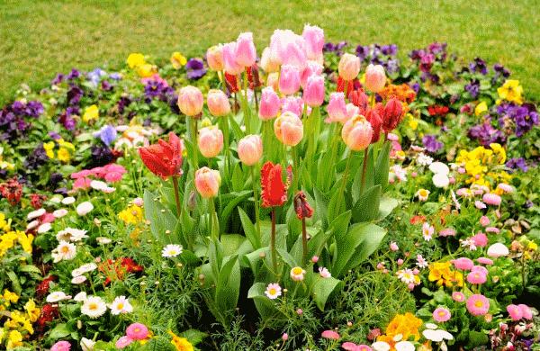 Маргаритки и тюльпаны