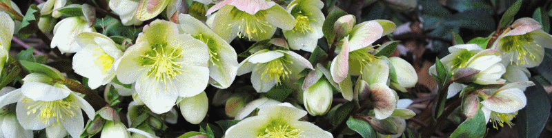 Морозник (фото цветов)