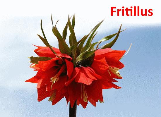 Fritillus