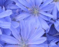 Цикорий (фото растения)