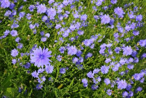 Цикорий в поле