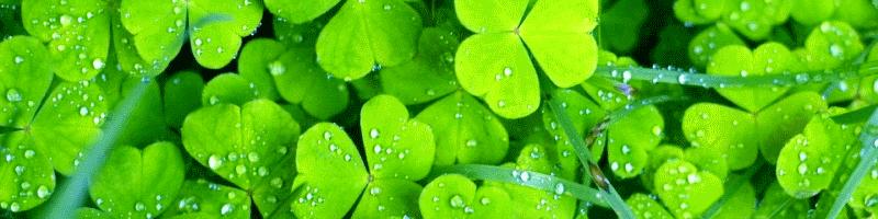 Клевер (фото растения)
