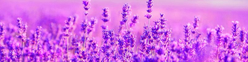 Лаванда (фото цветов)