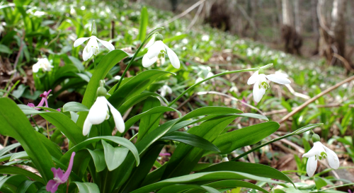 Galanthus woronowii