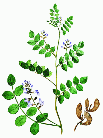 Солодка Коржинского