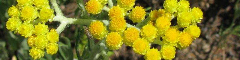 Бессмертник (фото цветов)