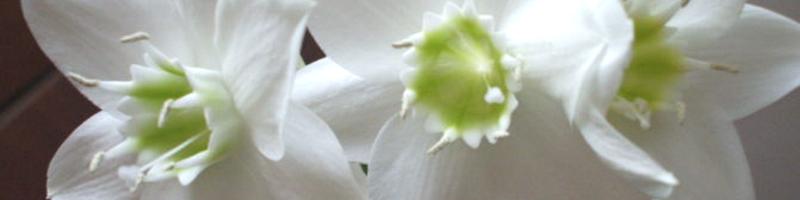 Эухарис (фото цветов)