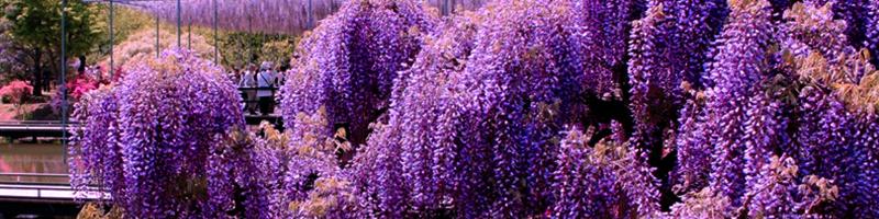 Глициния (фото цветов)
