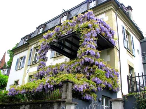 Глициния на балконе