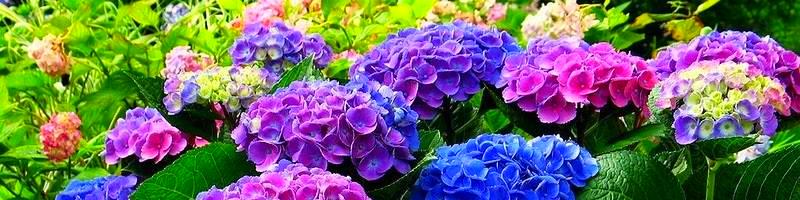 Гортензия (фото цветов)