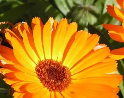 Календула (фото цветов)