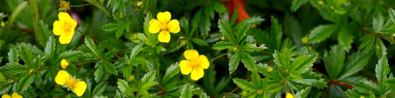 Калган (фото растения)