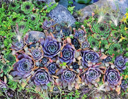 Каменная роза