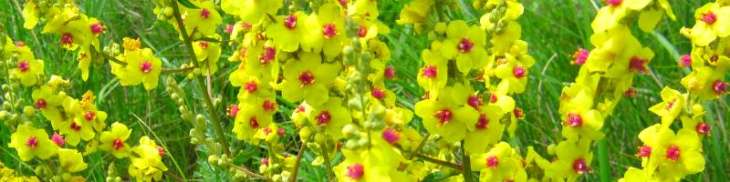 Коровяк (фото растения)