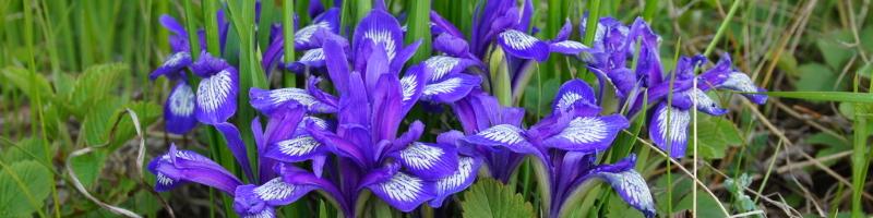 Кукушкины слезки (фото цветов)