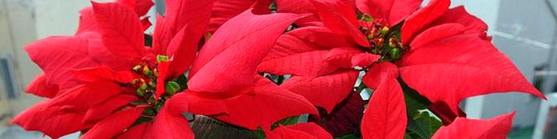 Пуансеттия (фото цветов)