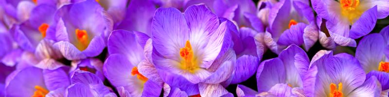 Шафран (фото цветов)