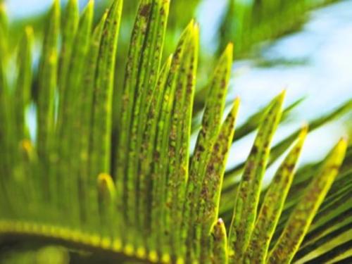 Пальмовая щитовка
