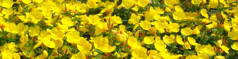 Энотера (фото растения)