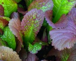 Горчица (фото растения)