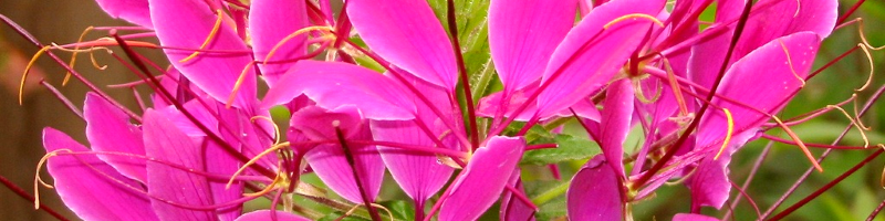 Клеома (фото растения)