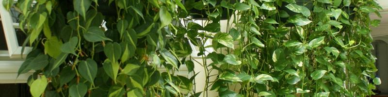 Лианы - комнатное растение