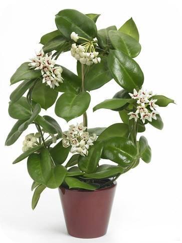Хойя - комнатное растение