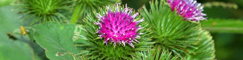 Репейник (фото растения)