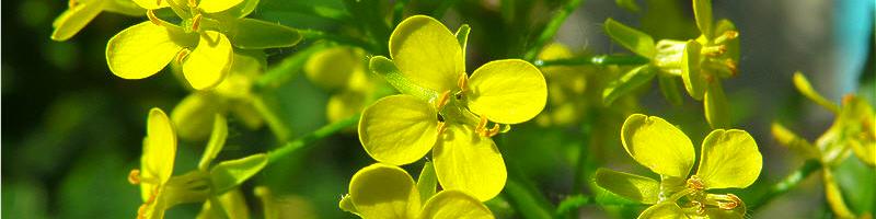 Сергибус (фото растения)
