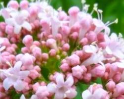 Валериана (фото растения)