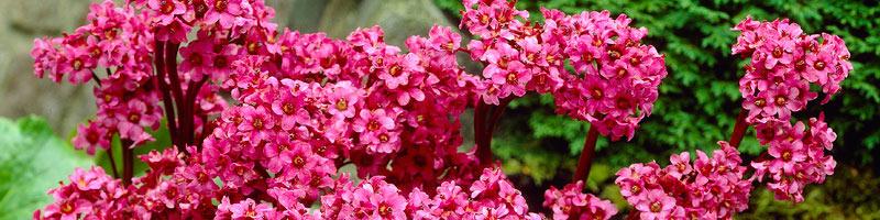 Бадан (фото цветов)