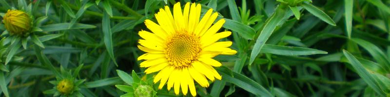 Девясил (фото растения)