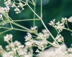 Кашка (фото растения)