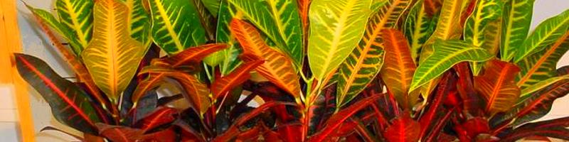 Кодиеум (фото цветов)
