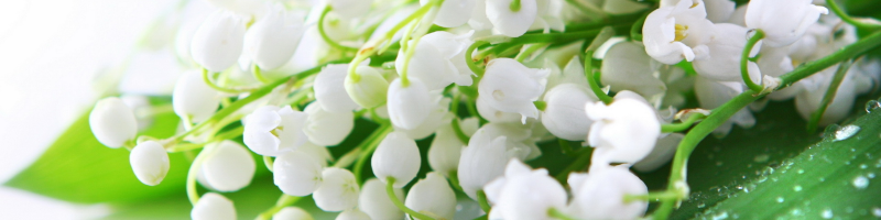 Ландыш (фото цветов)